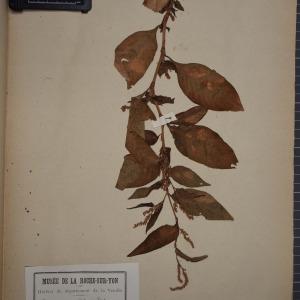 Photographie n°1249045 du taxon Polygonum nodosum Pers. [1805]