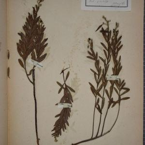 Photographie n°1249051 du taxon Daphne gnidium L. [1753]