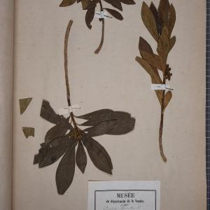 Photographie n°1249052 du taxon Daphne laureola L. [1753]