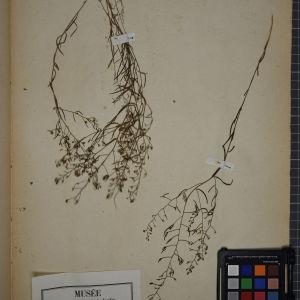 Photographie n°1249054 du taxon Thesium humifusum DC. [1815]
