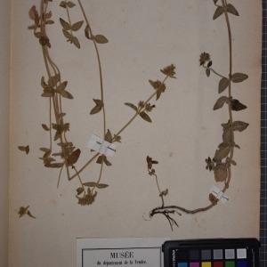 Photographie n°1249075 du taxon Clinopodium vulgare L. [1753]