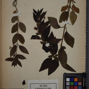 Photographie n°1249082 du taxon Melittis melissophyllum L. [1753]