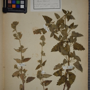 Photographie n°1249084 du taxon Nepeta cataria L. [1753]