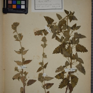 Photographie n°1249085 du taxon Nepeta cataria L. [1753]
