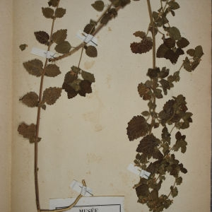 Photographie n°1249111 du taxon Ballota foetida Lam. [1779]