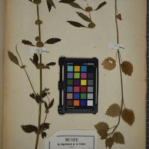 Photographie n°1249113 du taxon Chaiturus marrubiastrum (L.) Rchb. [1831]