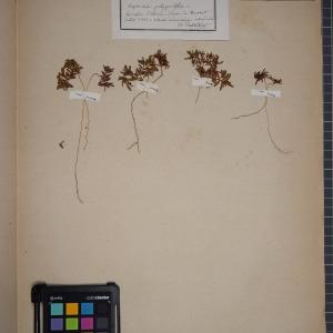 Photographie n°1249434 du taxon Euphorbia polygonifolia L.
