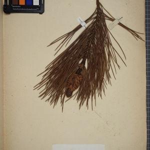 Photographie n°1249440 du taxon Pinus maritima (Aiton) W.T.Aiton [1813]