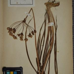 Photographie n°1249449 du taxon Butomus umbellatus L. [1753]