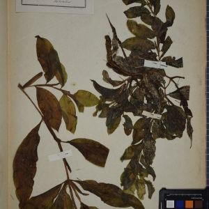 Photographie n°1249459 du taxon Potamogeton lucens L. [1753]