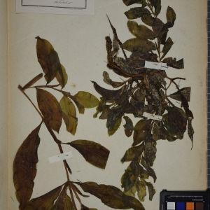 Photographie n°1249460 du taxon Potamogeton lucens L. [1753]