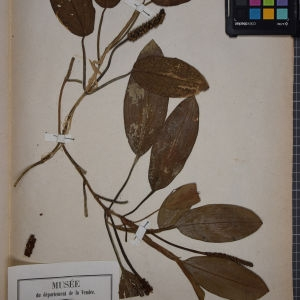 Photographie n°1249461 du taxon Potamogeton natans L. [1753]