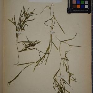 - Potamogeton acutifolius Link [1818]