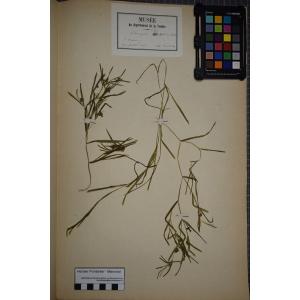 Potamogeton acutifolius Link (Potamot à feuilles aiguës)