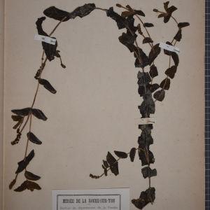 Photographie n°1249470 du taxon Potamogeton perfoliatus L. [1753]