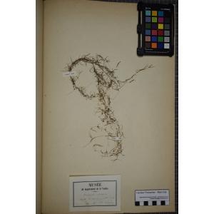 Zannichellia palustris L. (Zannichellie des marais)