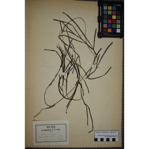 Zostera marina L. (Varech des bords de mer)