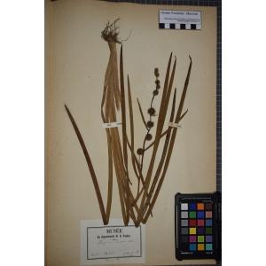 Sparganium emersum Rehmann (Rubanier émergé)