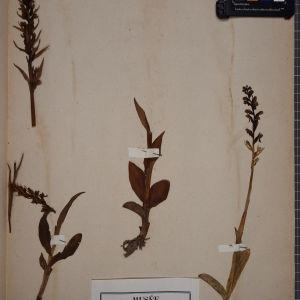 Photographie n°1249497 du taxon Orchis viridis (L.) Crantz [1769]