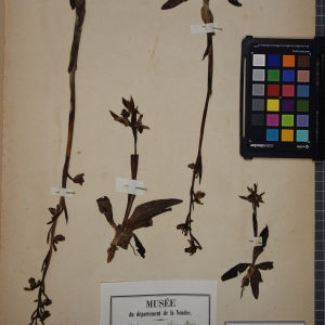 Photographie n°1249524 du taxon Ophrys aranifera Huds. [1778]