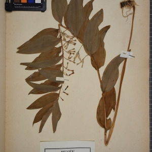 Photographie n°1249562 du taxon Convallaria multiflora L. [1753]