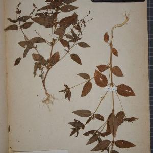Photographie n°1249579 du taxon Mercurialis annua L. [1753]