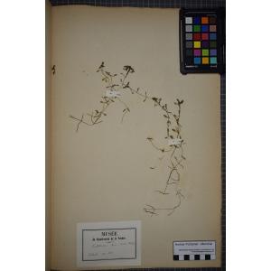 Callitriche hamulata Kütz. ex W.D.J.Koch (Callitriche à crochets)