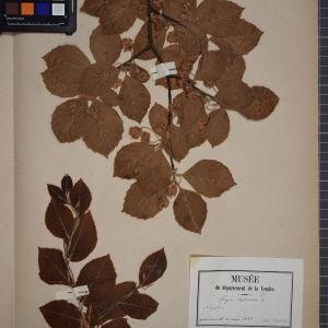 Photographie n°1249595 du taxon Fagus sylvatica L.