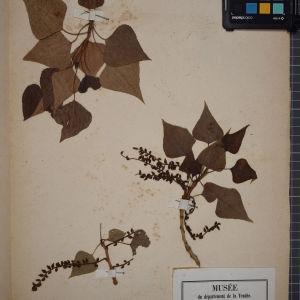 Photographie n°1249596 du taxon Populus nigra L.