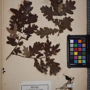 Photographie n°1249601 du taxon Quercus pedunculata Ehrh. ex Hoffm. [1791]