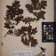 Herbier  PONTARLIER-MARICHAL - Quercus pedunculata Ehr.