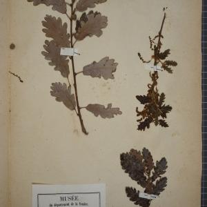 Photographie n°1249606 du taxon Quercus pubescens Willd. [1805]