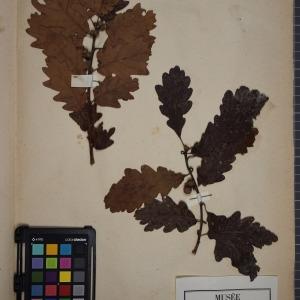 Photographie n°1249609 du taxon Quercus sessiliflora Salisb. [1796]
