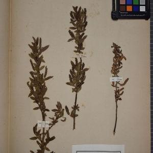Photographie n°1249614 du taxon Salix triandra L. [1753]