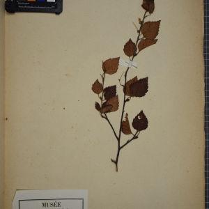 Photographie n°1249627 du taxon Betula pubescens Ehrh. [1791]