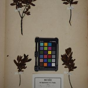 Photographie n°1249628 du taxon Myrica gale L.