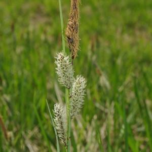 Photographie n°1251522 du taxon Carex flacca Schreb. [1771]