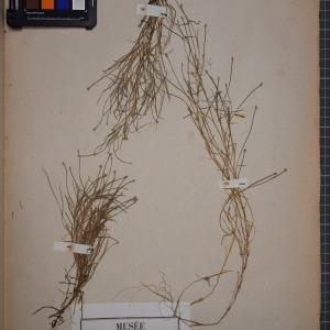 Photographie n°1251817 du taxon Scirpus fluitans L. [1753]