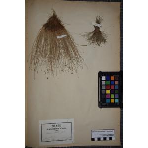 Isolepis cernua (Vahl) Roem. & Schult. (Scirpe incliné)