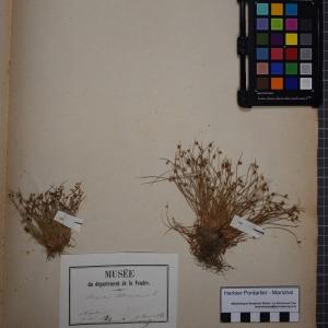 Photographie n°1251823 du taxon Scirpus setaceus L. [1753]