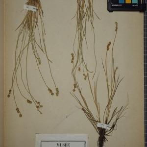 Photographie n°1251888 du taxon Carex stellulata Good.