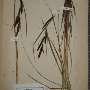 Photographie n°1251896 du taxon Carex acuta L. [1753]
