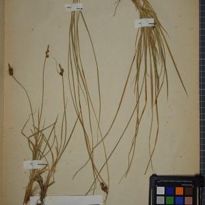 Photographie n°1251900 du taxon Carex pilulifera L.