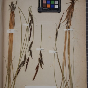 Photographie n°1251904 du taxon Carex stricta Gooden. [1794]