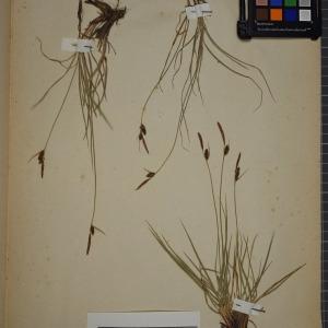 Photographie n°1251906 du taxon Carex tomentosa L. [1767]