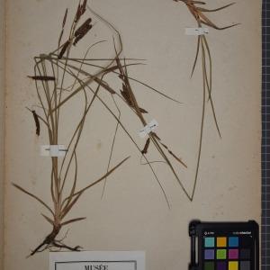 Photographie n°1251913 du taxon Carex glauca Scop. [1772]