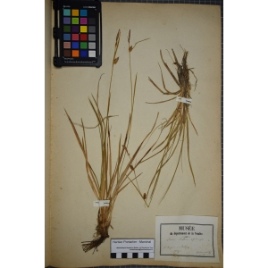 Carex hostiana DC. (Laiche blonde)