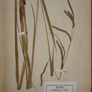 Photographie n°1251939 du taxon Carex maxima Scop.