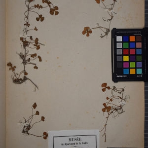 Photographie n°1251974 du taxon Marsilea quadrifolia L. [1753]