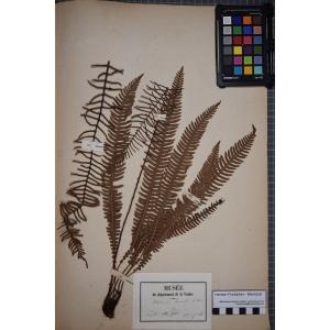 Blechnum spicant (L.) Roth (Blechne)